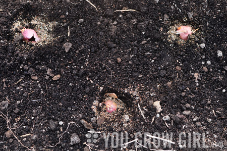 How to Plant Shallot Sets