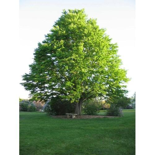 Medium Crop Of Dark Oak Sapling Wont Grow