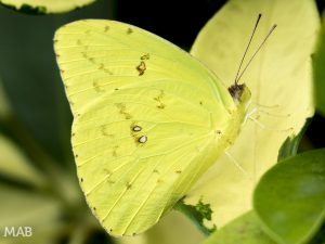Yellow Butterfly on Yellow Leaf