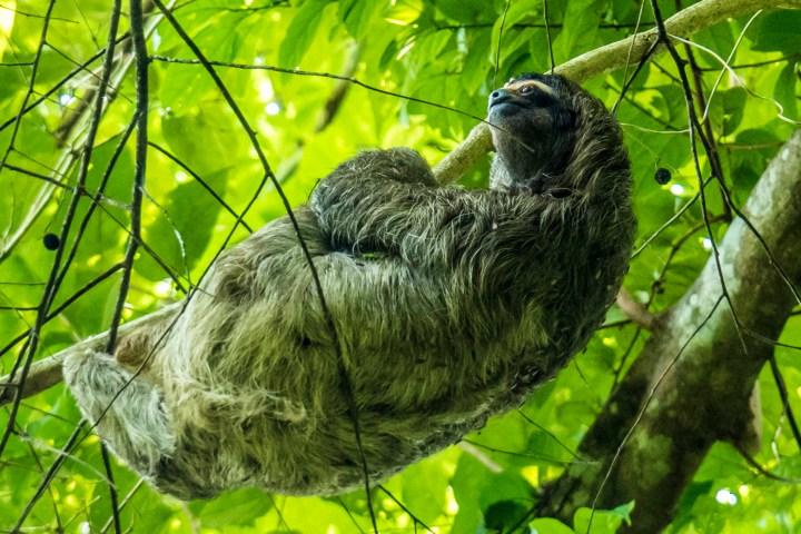 Featured Sloth