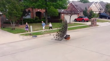 Angry peacock scares kids