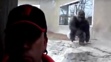 Zoo Gorilla tries to attack