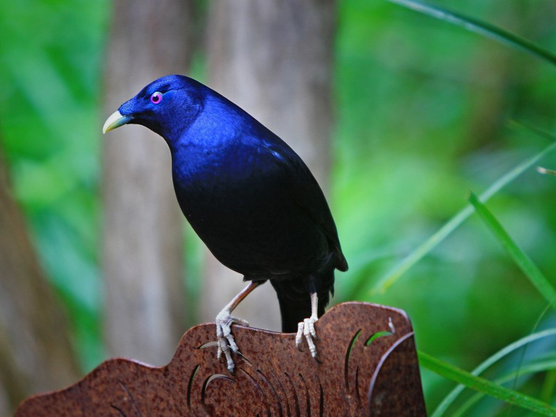 The satin bowerbird (Ptilonorhynchus violaceus)