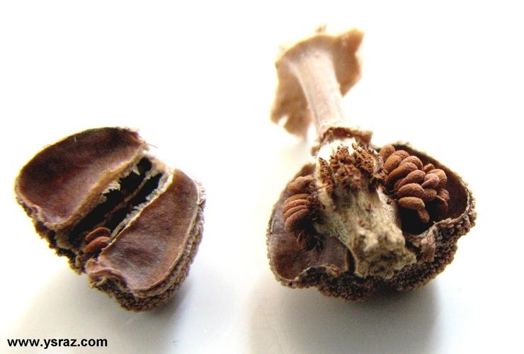 זרעים של צמחים טורפים למכירה