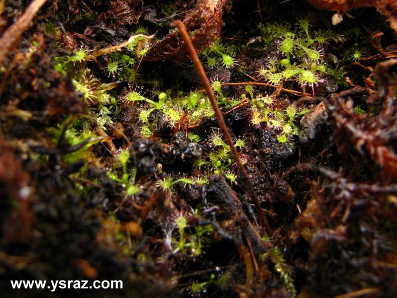 הכנת תאי הנבטה לזרעי צמחים טורפים - דיונאה, טללית ושופרית