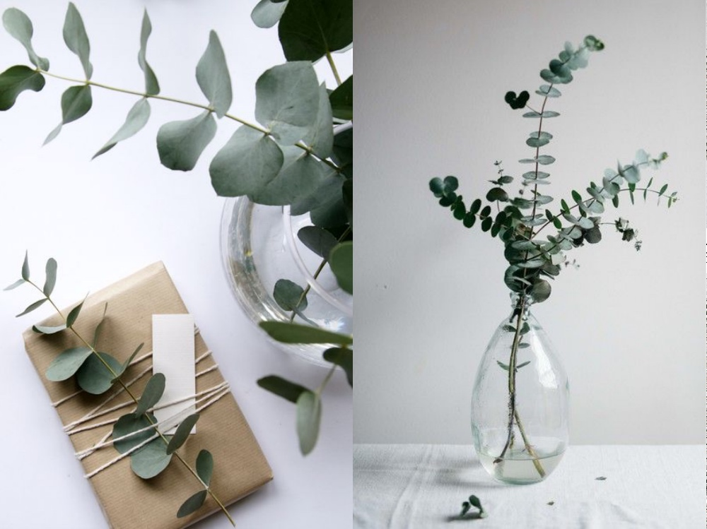 eukaliptusc