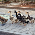 Do these ducks have a leader or are they waddling together?