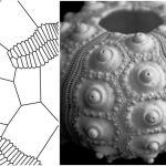 Echinoid Morphology