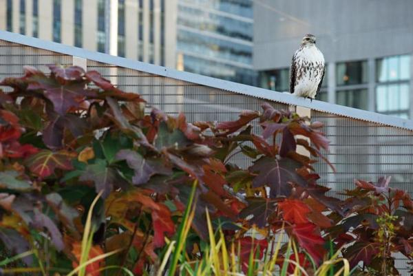 This hawk took up residence last fall, enjoying the other fauna that occupy the Square. As snacks, Image Courtesy © Steven Evans / © PLANT Architect Inc.