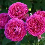 'Ruby Voodoo' Rose