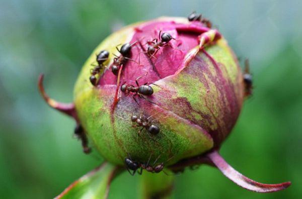 Вредители на цветах в саду