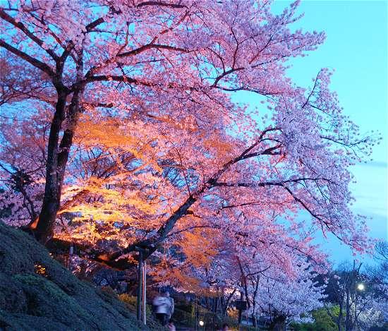 清水寺 桜ライトアップ