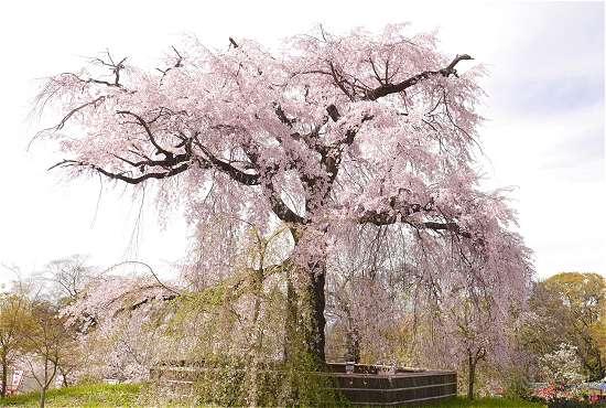 円山公園 枝垂れ桜