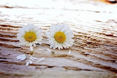 s-daisy-747320_640