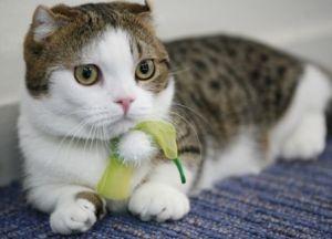 【横浜】マンチカンに会える猫カフェ なら『猫カフェれおん』