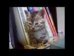 居眠り子猫が正座して睡魔と戦う姿が萌えかわいい