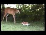 飼い猫と野生の鹿の友情?子ネコが寝ている鹿に近寄る恐れる姿
