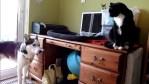 新入り子ネコに『一緒に遊ぼう』としつこいハスキー犬が可愛い