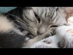 スマホの指紋認証に肉球を登録チャレンジ中の愛猫、その結果は?