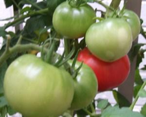 tomato (5)