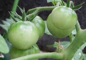 tomato (2)_edited-1
