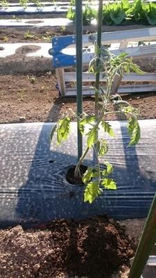 tomato jiue05