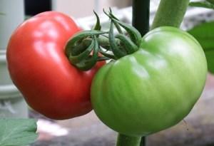 tomato-sirigusare02