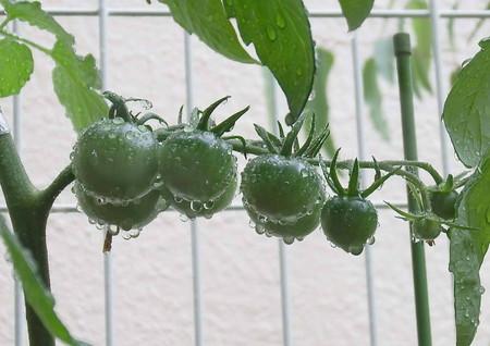 tomato0005