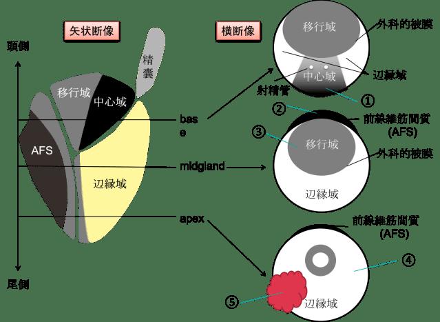 anatomy of prostate 2015