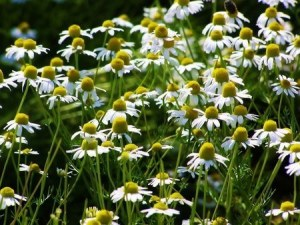 German chamomile (2)