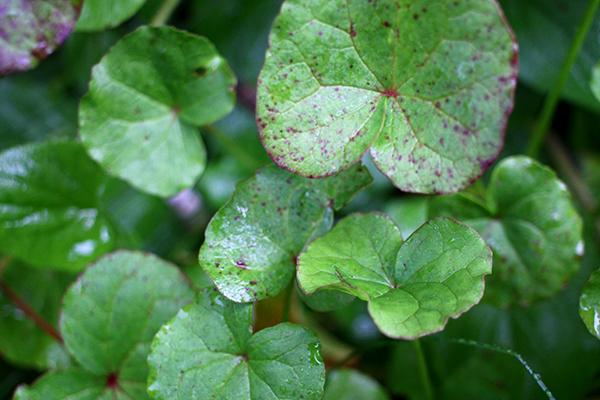 Fjällsyra (Oxyria digyna) är en av de härdigaste fleråriga grönsakerna och räknas till härdighetsklass A.