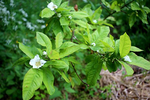 Mispeln (Mespilus germanica) är i full blom just nu och ser ut att bära frukt även i år, för tredje gången på raken. Tyvärr vet jag inte vilken sort det är.