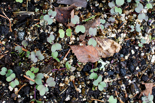 Helgoländer Wildkohl (Brassica oleracea subsp. oleracea)