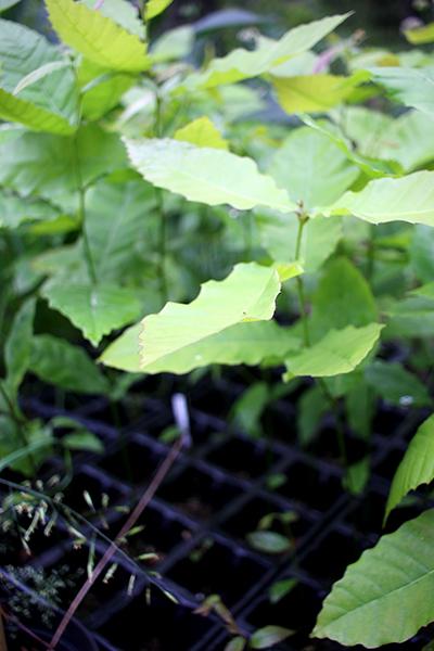 De här små kastanjträd får nog växa i kruka ett par år till innan jag vågar plantera ut dem.