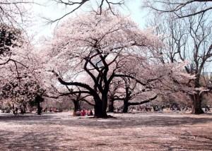 桜 開花予想 2015年 新宿御苑