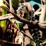 Lemur-maki -väntar