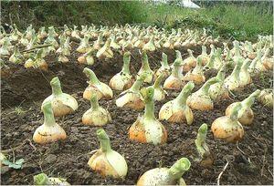 玉ねぎの栽培方法