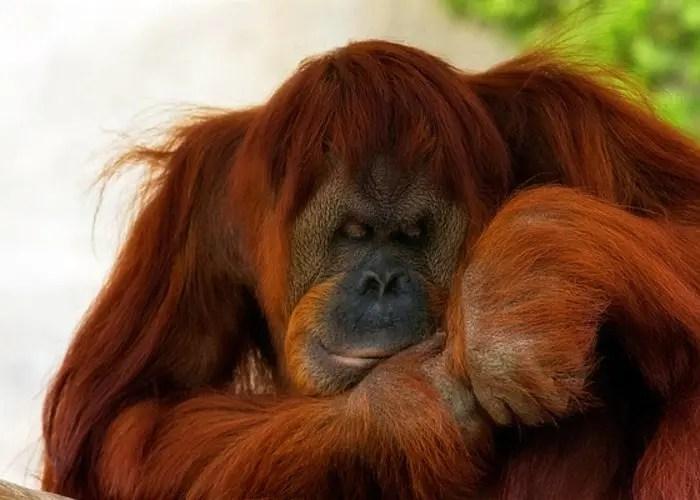 orangutan-durmiendo