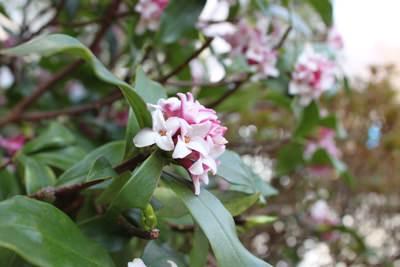 満開の沈丁花