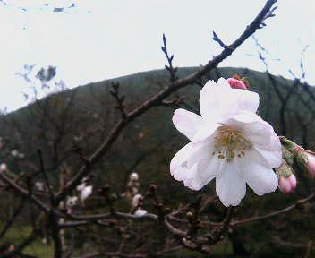 十月桜.jpg