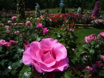 バカテル公園のバラ5