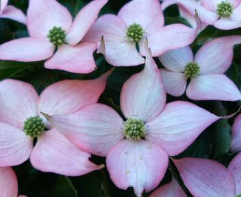 ピンクのヤマボウシの花