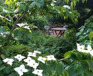 ヤマボウシの咲く中庭