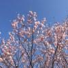今年の桜、例年にも増して美しい。気持ちが景色を変える。 #594