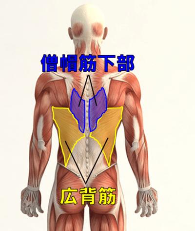 懸垂で鍛えられる筋肉1