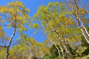 秋のダケカンバ