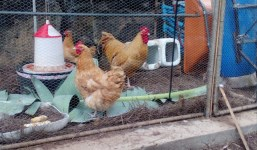 Vendo gallinas orpington