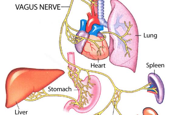 Vagus Nerve Yoga | Spotgymyoga.org