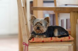 Small Of Do Yorkies Shed