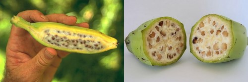 Medium Of Banana With Seeds
